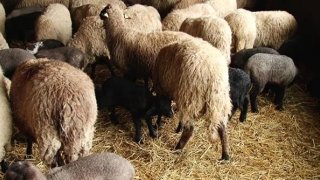 CONSTANȚA! Animale nedeclarate, vândute fără autorizații!