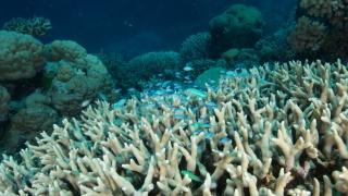 Se înregistrează cea mai mare extincție a coralilor din istorie