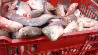 Peste 100 de kilograme de peşte, confiscate de polițiști