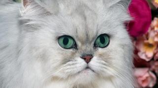 Persana chinchilla, una dintre cele mai frumoase pisici din lume