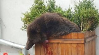 """Poliţişti stupizi din Sibiu au hăituit ursul cu maşina şi apoi l-au împuşcat! Degeaba. """"Animalul nu mai prezenta un pericol""""!"""
