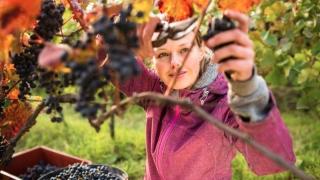 Vești bune! Producția de vin crește cu 11%