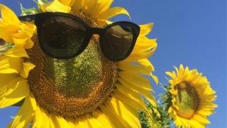 Recoltarea florii soarelui începe mai devreme! Ce s-a întâmplat?