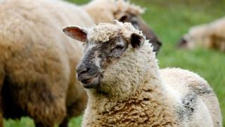 România reia exportul de ovine și bovine către Israel