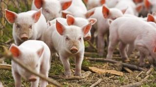 România va putea exporta porci vii în UE