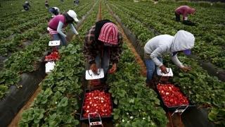 Românii, căutați pentru cules de căpșuni și zmeură