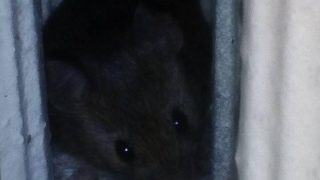 """Șoarecii """"au invadat"""" spitalul din Aiud! Rozătoarele, surprinse și în alte secții!"""