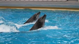 Reprezentațiile cu delfini, suspendate două zile! Iată de ce!
