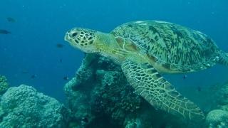 Țestoasele marine verzi, pe cale de dispariţie! Vezi cine le extermină!