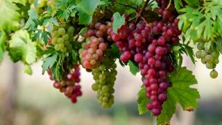 Tradiții și superstiții în august, luna strugurilor. În ce zi nu se mănâncă aceste fructe