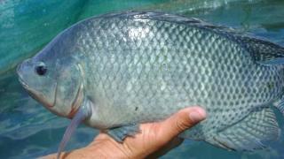 Tratarea arsurilor cu piele de pește tilapia, o metodă alternativă testată pe pacienți umani de medicii din Brazilia