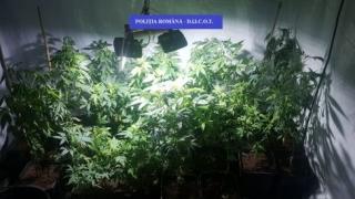 Percheziții în Tomis III. Creștea cannabis în apartament