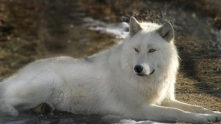 Un emblematic lup alb, rănit în Parcul Yellowstone