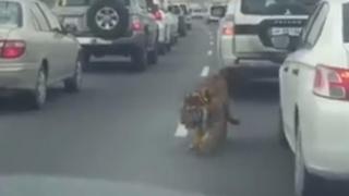 Un tigru, la plimbare pe o autostradă din Qatar