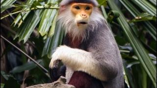 Vietnamul vrea să salveze o specie rară de maimuță. Are nevoie de mai multe păduri
