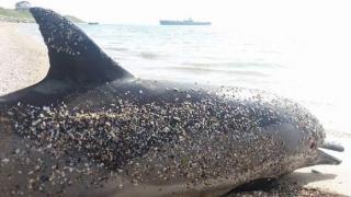 140 de delfini au murit pe litoralul românesc de la începutul verii