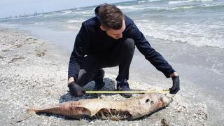 Delfinii, specie pe cale de dispariție?! Câți mai sunt în Marea Neagră