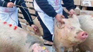 Constanţa: 88 de focare de pestă porcină în gospodării şi 4 cazuri la mistreţi!