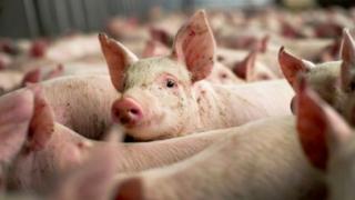 Discuții despre pesta porcină, cu directorul Administrației Veterinare și Alimentare din Danemarca