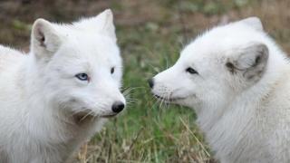Cum poți deveni naș pentru două vulpi polare de la Microrezervație