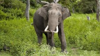 Elefantul de Sri Lanka, în pericol cumplit! Şi-a pierdut habitatul din cauza despăduririlor