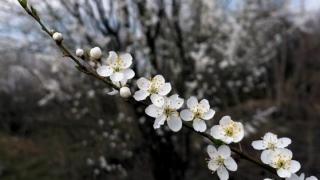 Tradiţii şi obiceiuri în Duminica Floriilor. De ce se spune din popor că nu trebuie să ne spălăm pe cap, astăzi. Care este superstiţia pentru fetele nemăritate