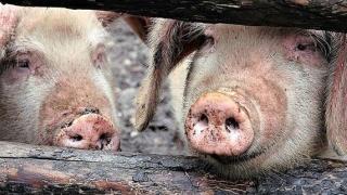 Numărul focarelor de pestă porcină africană a ajuns la 124