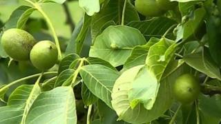 De ce boli te poți trata cu frunze de nuc?