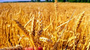 România, lider în UE la exporturile de grâu