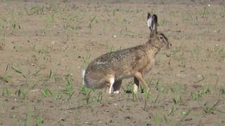 Circa 100 de hectare de terenuri agricole, distruse de iepurii sălbatici