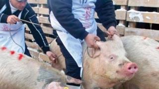Încă un focar de pestă porcină africană, confirmat în România