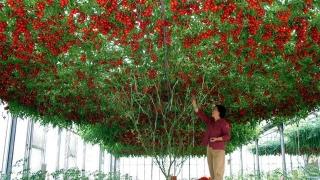 Incredibil! Roșia-pom trăiește și în România!