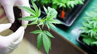 Se analizează posibilitatea legalizării canabisului medicinal. Primă întâlnire!