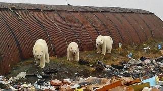 """""""Invazie"""" de urşi polari arhipelagul rus arctic! S-a decretat stare de urgenţă"""