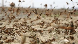 Invazie vs ingeniozitate! Păsări migratoare și găini împotriva lăcustelor!