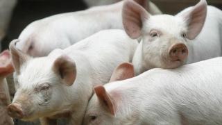 Lângă Constanța! Vor fi SACRIFICAȚI zeci de mii de porci!