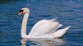 Slovenia a confirmat primul caz de gripă aviară