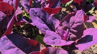 Cum se prepară planta de sezon care detoxifică organismul