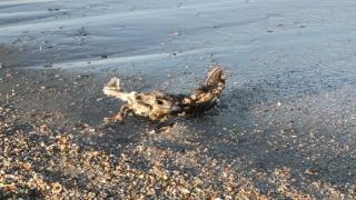 ALERTĂ! Păsări moarte în Mamaia! Vezi cum ne păzim de gripa aviară!