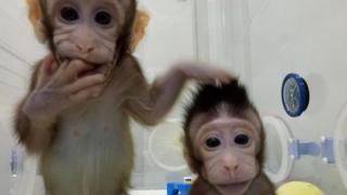 Oameni de ştiinţă din China au clonat două maimuţe