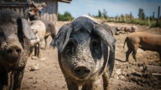Pesta porcină - autoritățile ar putea interzice creşterea porcilor în anumite gospodării