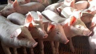 Măsuri pentru limitarea și eradicarea pestei porcine africane!