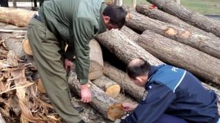 Infracțiuni silvice: peste 90.000 mc. de material lemnos, confiscat de polițiști
