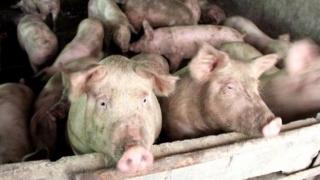 Milioane de euro de la CE pentru combaterea pestei porcine africane