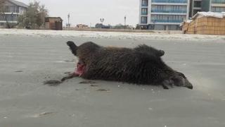 Ce au păţit mistreţii găsiţi morţi la Hanul Piraţilor, pe plajă