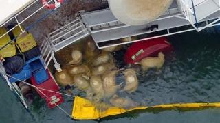 103 tone de cadavre de oi au fost duse la incineratorul din Tulcea