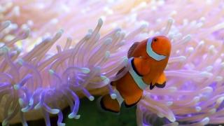 """Nemo"" este stresat de anemone"