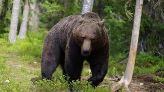 Nu sunt trofee de pus pe perete! Urșii bruni din România, în pericol!