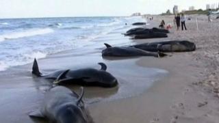 Sute de balene pilot au murit după ce au eșuat în Noua Zeelandă