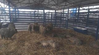 Oile salvate de pe nava răsturnată în Portul Midia vor trăi în sanctuarul unui ONG